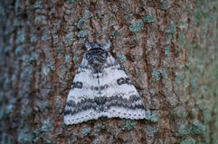 White Underwing Moth. Perched on a tree royalty free stock photos