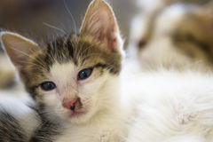 White undomesticated pussy Royalty Free Stock Images
