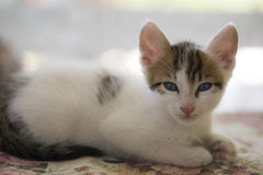 White undomesticated pussy Stock Images