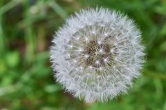 White untouched blooming round dandelion on green grass background. royalty free stock photo