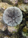 White urchin in Cuba Royalty Free Stock Images