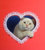 White valentine kitten with copy space Royalty Free Stock Images