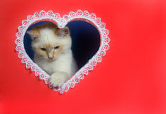 White valentine kitten with copy space Royalty Free Stock Photos