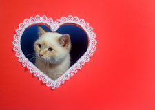 White valentine kitten with copy space Royalty Free Stock Photography