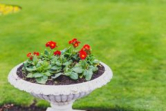 White vase of red primulaes flowers in a green meadow Royalty Free Stock Photo