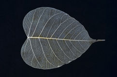 White veins of bodhi leaf texture Stock Photography