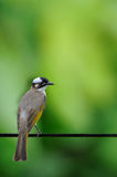 White-Vented Bulbul Royalty Free Stock Images