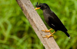 White-vented Myna. Stock Photos