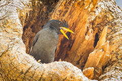 White-vented Myna Stock Photo