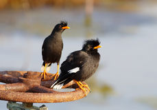 White-vented Myna Acridotheres grandis Stock Image