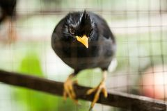 White-vented myna Acridotheres javanicus, black crested bird Royalty Free Stock Image