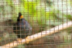 White-vented myna Acridotheres javanicus, black crested bird Royalty Free Stock Photos