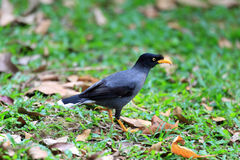 White-vented Myna Royalty Free Stock Photo