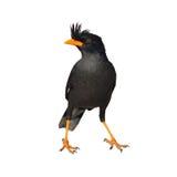 White-vented Myna bird. Black bird (White-vented Myna) on white background Stock Photos