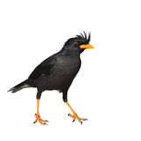 White-vented Myna bird Stock Photography