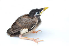 White vented Myna black Stock Images