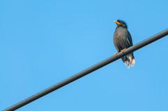White-vented Myna black bird sitting on a cable from Thailand. White-vented Myna, black small tropical bird in Thailand resting on an electric cable wire with Royalty Free Stock Photo