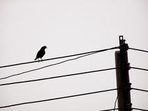 White-vented Myna Stock Images