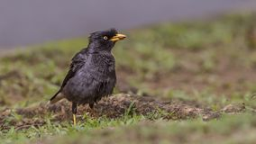 White-vented Myna Feeding Seed Stock Images