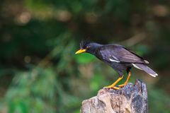 White vented myna on nature background Stockfotos