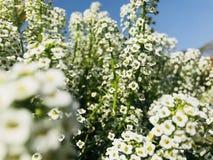 White Verbena Flowers stock image