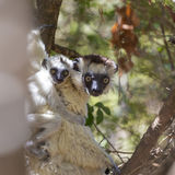 White Verreaux's Sifaka lemur with baby in the back on a forest in Zombitse Park, Madagascar Stock Photography