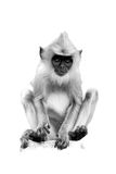 On white, vertical black and white photo of Gray langur. Semnopithecus entellus, monkey baby sitting on stone wall staring directly at camera. World heritage royalty free stock photos