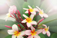 White vibrant tropical flowers. Close-up nature background Royalty Free Stock Photo