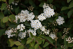 White Viburnum Bush with the Flowers in the Back Blurry. White viburnum flowers showing the stems, leaves and flowers with some of the back flowers blurry royalty free stock photos