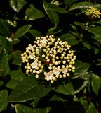 White Viburnum Flower with Green Leaves Stock Photos