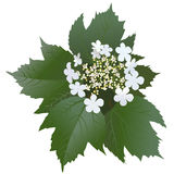 White viburnum flowers with leaves and bud. S. Bunch of blossoming viburnum flowers Royalty Free Stock Images