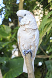 White vigilant parrot perched on a wooden pole Royalty Free Stock Photo