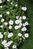 White vinca flowers Stock Photo