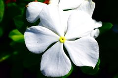 White Vinca 5 petal Flower. Bloom Royalty Free Stock Photos