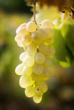 White vine Stock Photos