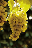White vine grape. Photo, white vine grape and leaves Royalty Free Stock Photos