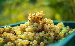 White vine grapes. Detailed view of a grape vines in a vineyard in autumn. royalty free stock image