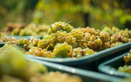 White vine grapes. Detailed view of a grape vines in a vineyard in autumn. stock photography