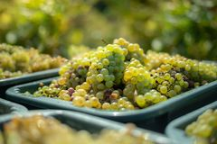 White vine grapes. Detailed view of a grape vines in a vineyard in autumn. stock image
