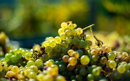 White vine grapes. Detailed view of a grape vines in a vineyard in autumn. stock photos
