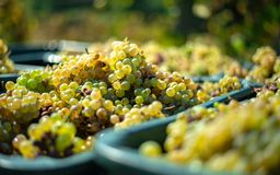 White vine grapes. Detailed view of a grape vines in a vineyard in autumn. stock images
