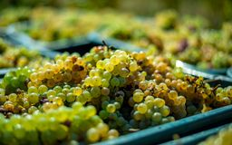 White vine grapes. Detailed view of a grape vines in a vineyard in autumn. royalty free stock photo