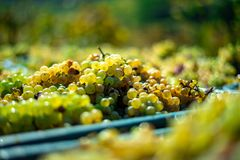 White vine grapes. Detailed view of a grape vines in a vineyard in autumn. stock photo
