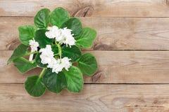 White viola flower Stock Photo