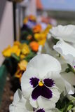 White Violas. In my home garden on the balcony in the sunrise in spring time Stock Photo