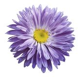 White-violet Aster flower on a white isolated background with clipping path. Flower for design, texture,  postcard, wrapper.  Clos Royalty Free Stock Photography