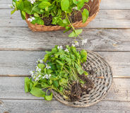 White violet in a basket Royalty Free Stock Images