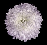 White-violet  chrysanthemum  flower. Black isolated background with clipping path.   Closeup  no shadows.  For design. Nature Stock Image