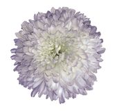 White-violet  chrysanthemum  flower.  White isolated background with clipping path.   Closeup  no shadows.  For design. Nature Stock Photos