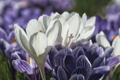 White and violet crocuses, they embellish the spring gardens. White and violet crocuses with a shadow of a flower pistil on a blurred background of other stock photos